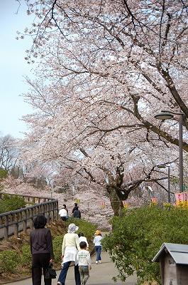 西山公園の桜がそろそろ満開に