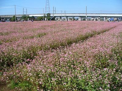 福井では蕎麦の花は白い。でも赤も有る?
