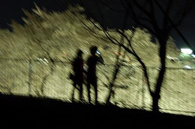 今が盛り、西山公園(鯖江市)の夜桜見物01