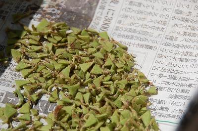 頂き物の枝豆は甘さが違う03