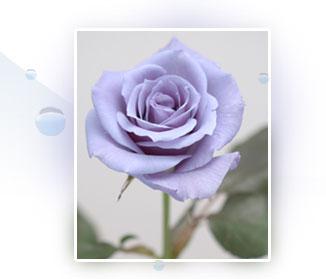 サントリーの『青いバラ』